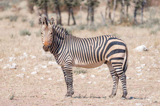 an in depth look at the zebras National geographic: the serengeti lion zebras and wildebeests rank high as the august issue of national geographic magazine features an in-depth look at.