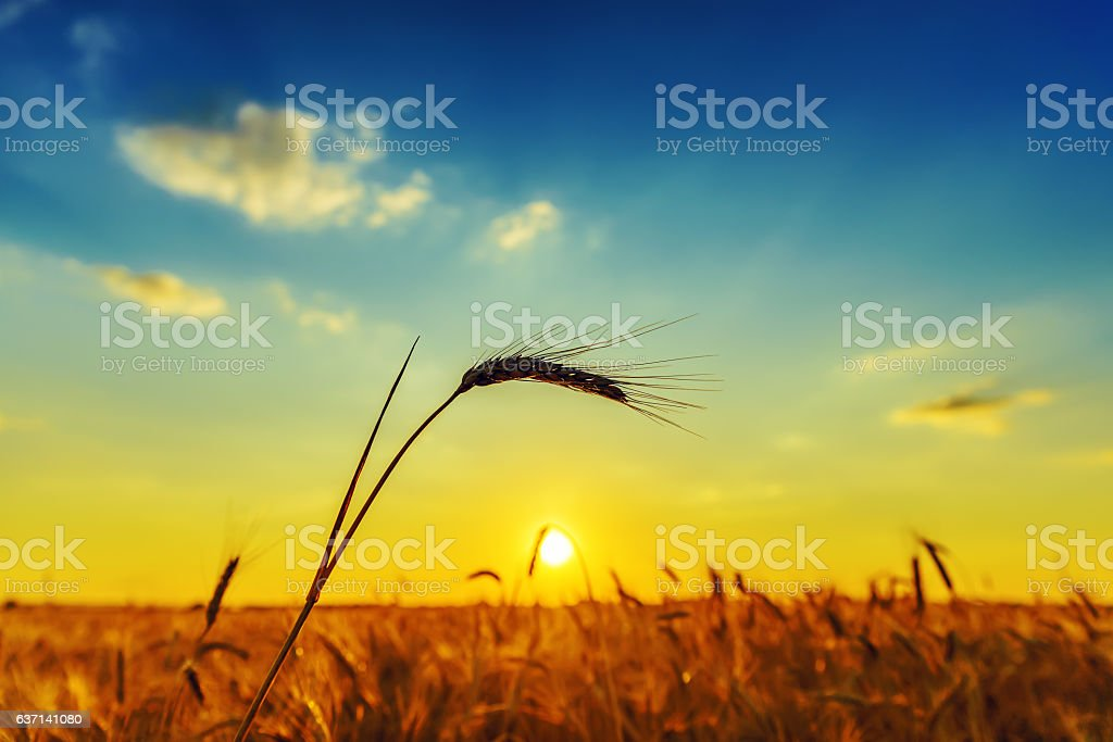 harvest and sunset over field stock photo