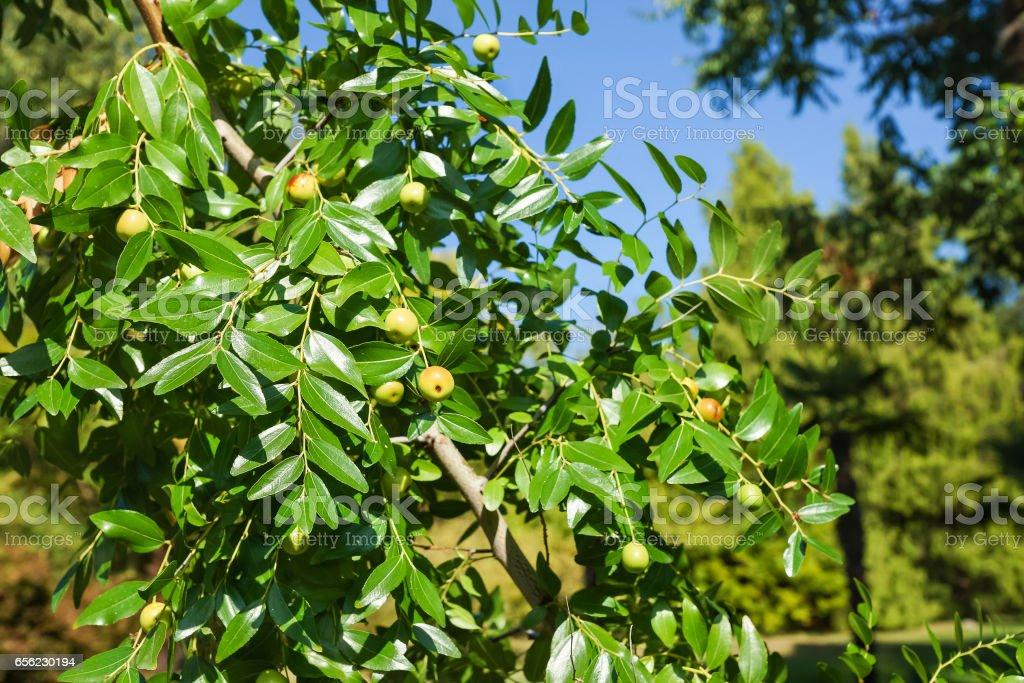 Harvest branch jujube (lat. Ziziphus jujuba) stock photo
