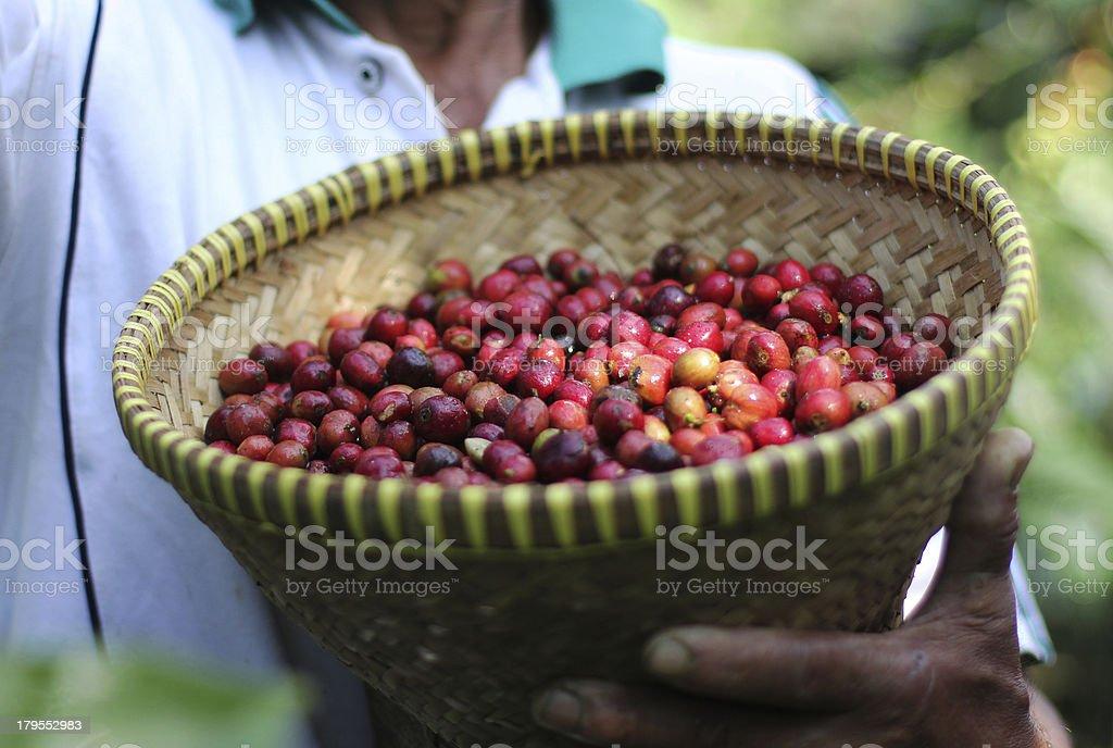 Harvest Coffee royalty-free stock photo