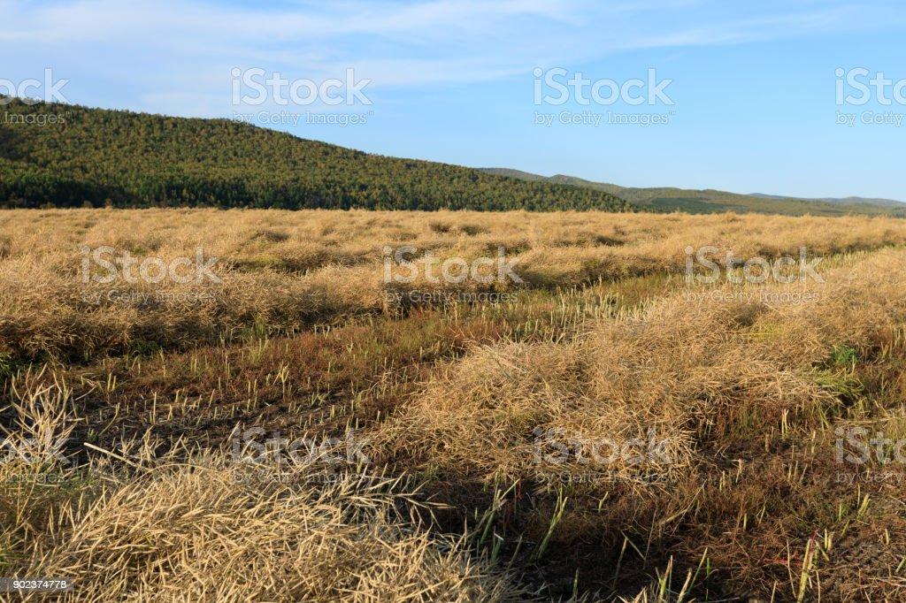 harvest cole crops on farmland under blue sky stock photo