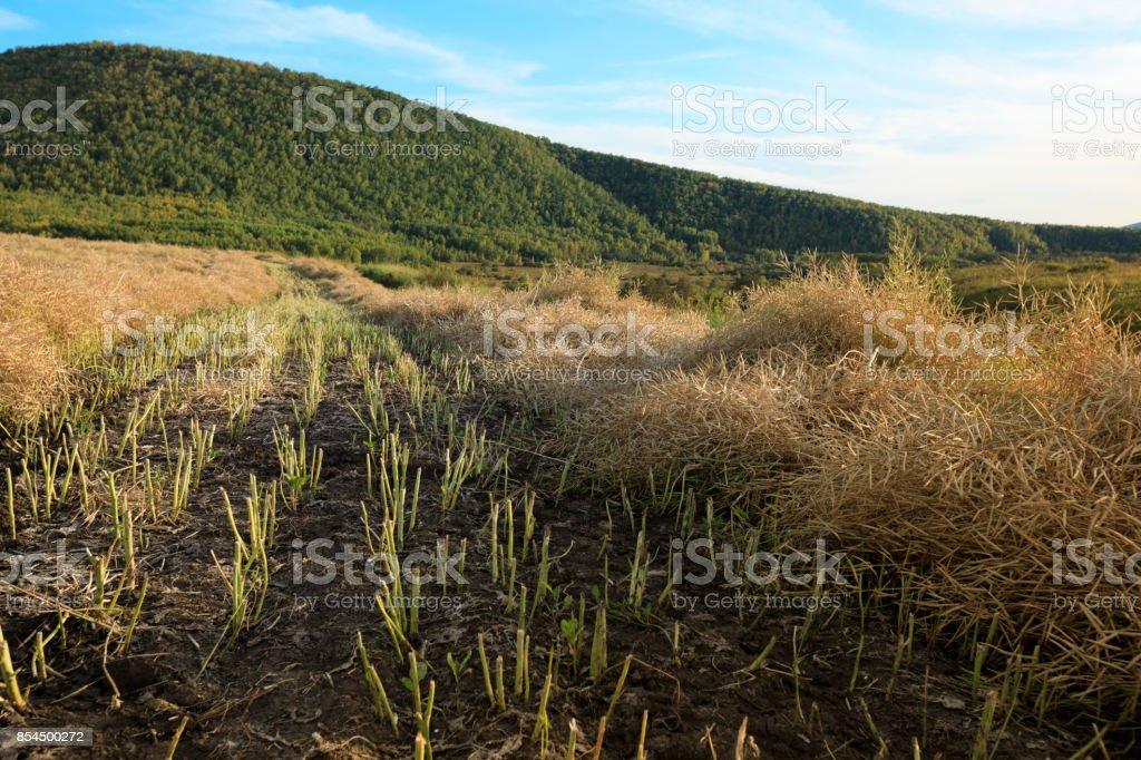 harvest cole flower on farmland with blue sky stock photo