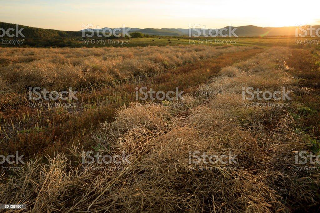 harvest cole on farmland with blue cloudy sunset sky stock photo
