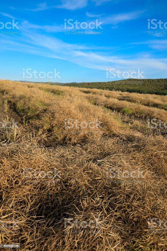 harvest cole on farmland with blue sky stock photo