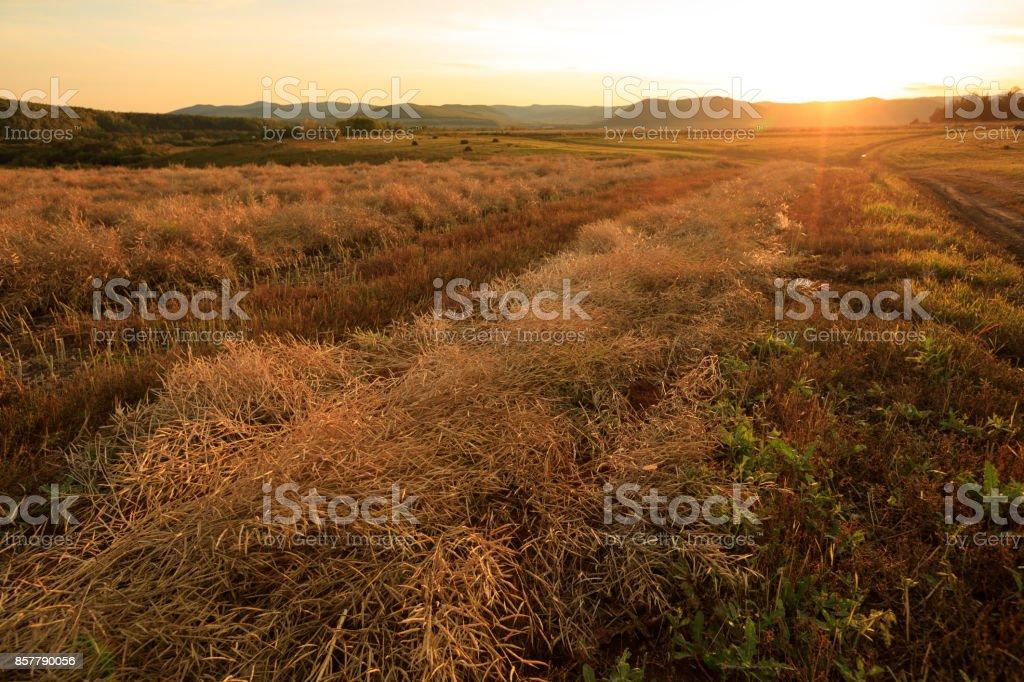 harvest cole on farmland with sunset sky stock photo