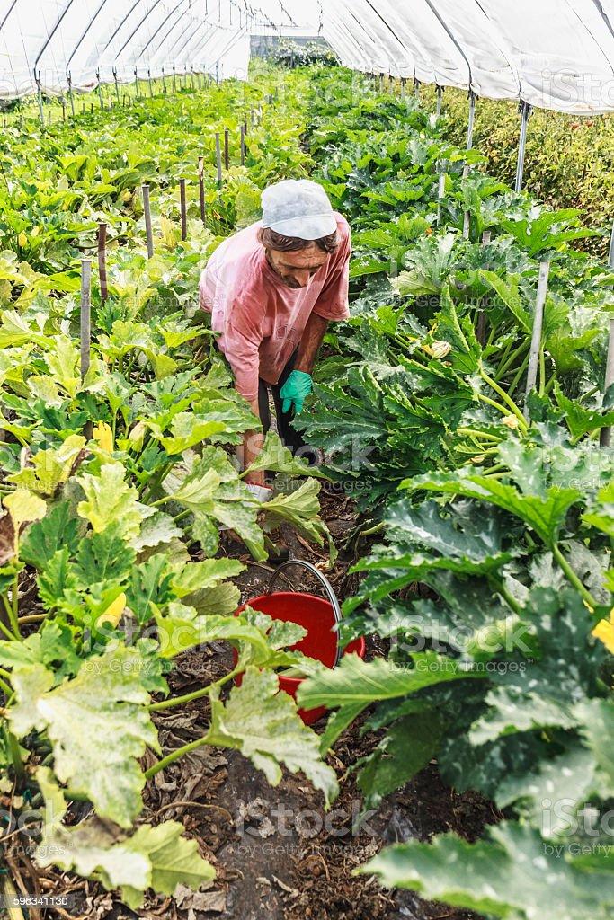 Harvest courgettes in greenhouse Lizenzfreies stock-foto