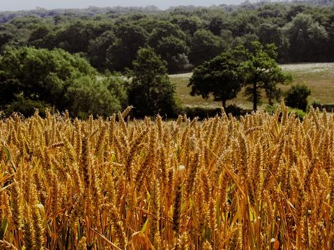 field of wheat harvest summer shropshire england uk