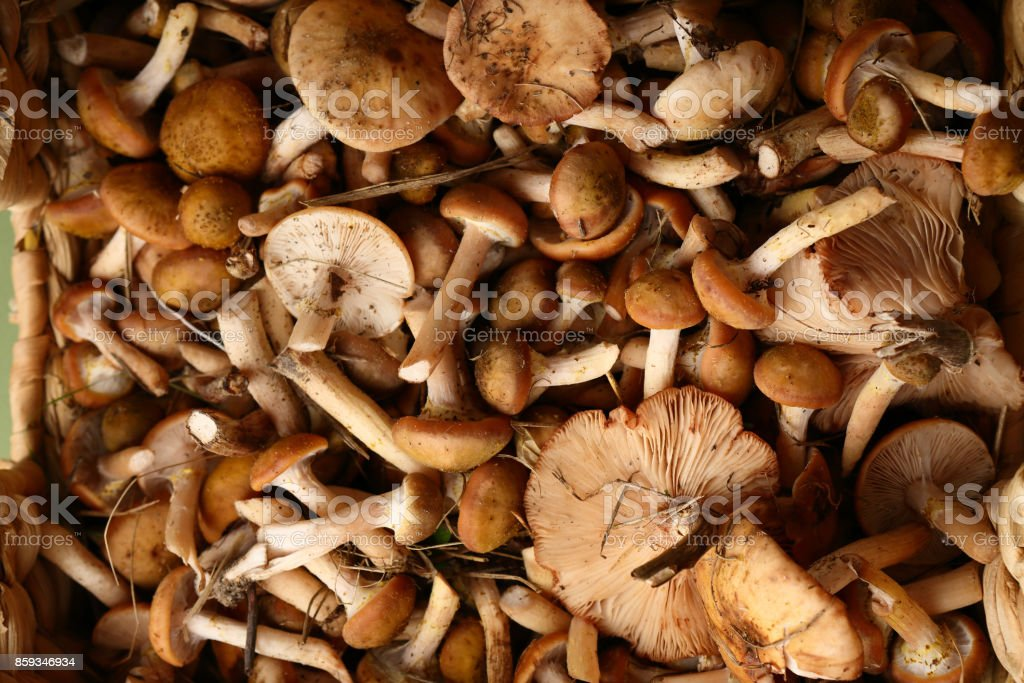 Harvest Forest mushrooms honey agaric , food above stock photo