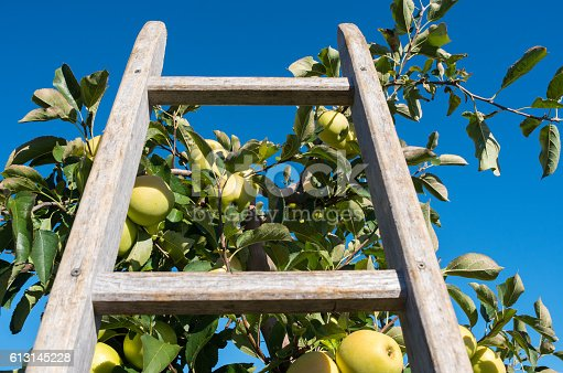 Close up of wooden ladder leaning against a ripe golden delicious apple tree.