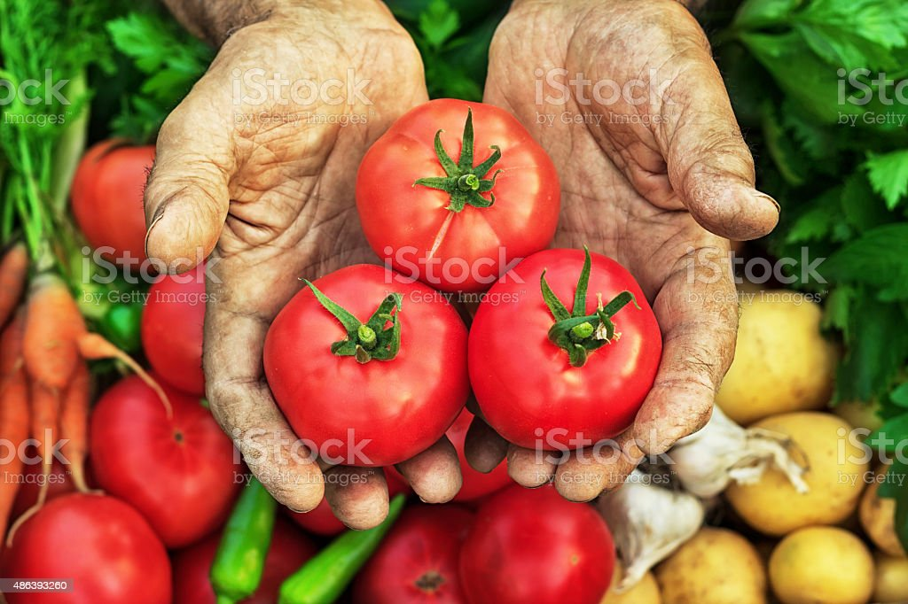 Harvest Hands Tomatos stock photo