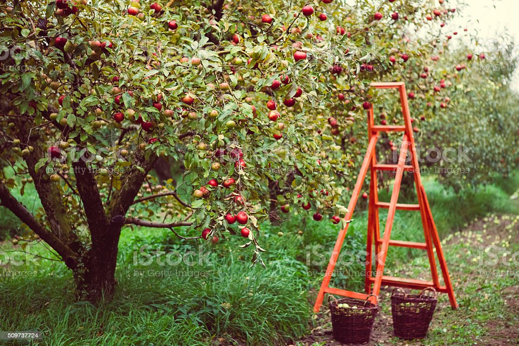 harvest in apple garden stock photo