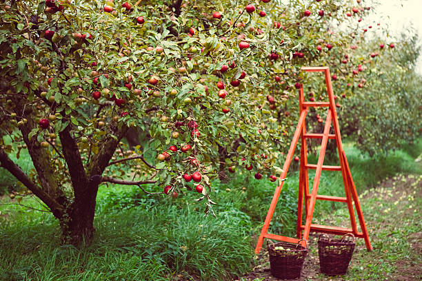 Royalty Free Apple Tree Pictures, Images and Stock Photos - iStock