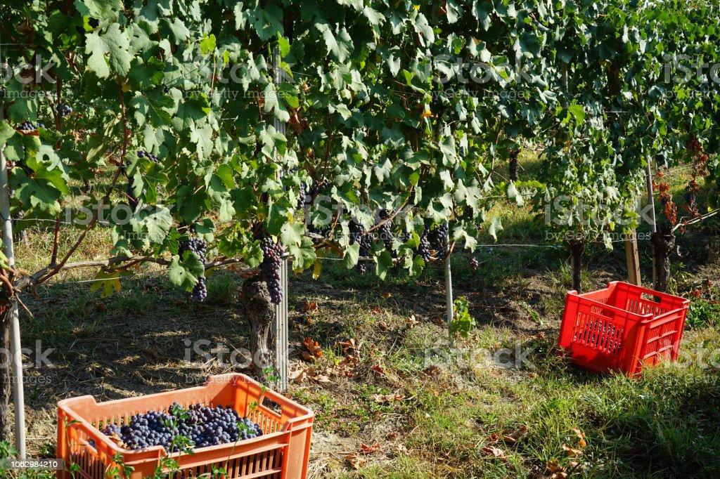 Harvest in vineyards in Barolo - foto stock