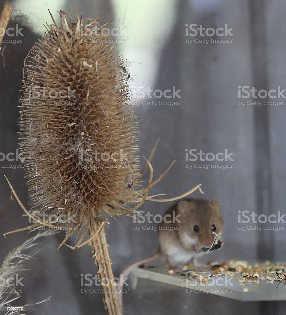 Harvest mouse eating stock photo