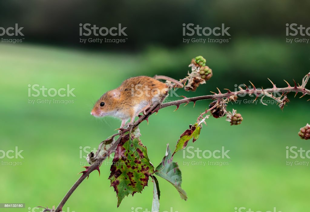 A Harvest mouse on a wild hedge royalty-free stock photo