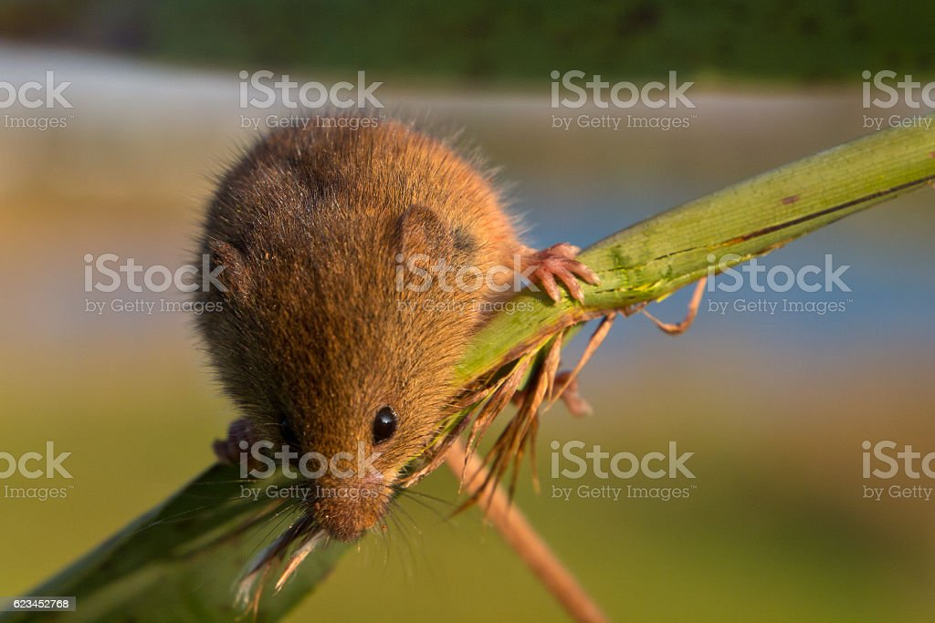 Harvest mouse on reed stem stock photo