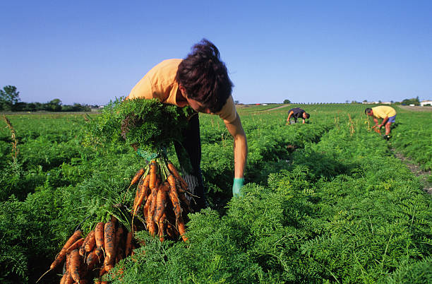 harvest of carrots woman harvesting carrots in a field farm worker stock pictures, royalty-free photos & images