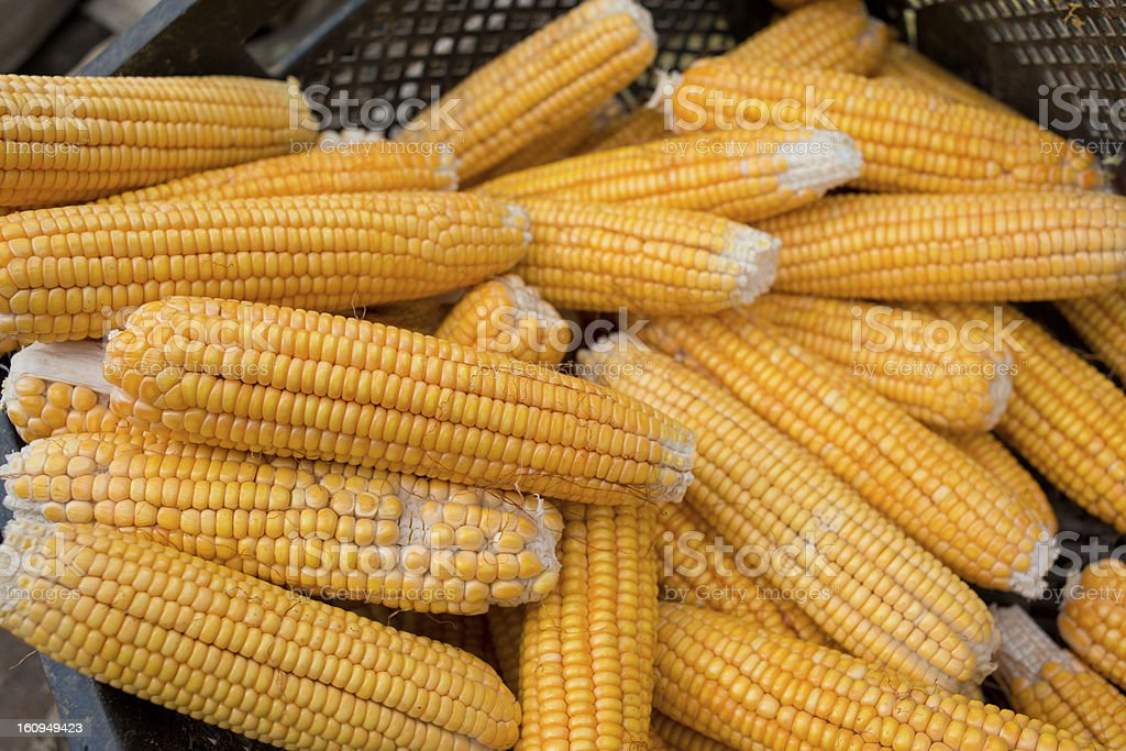 Harvest of Corn in crate. royalty-free stock photo