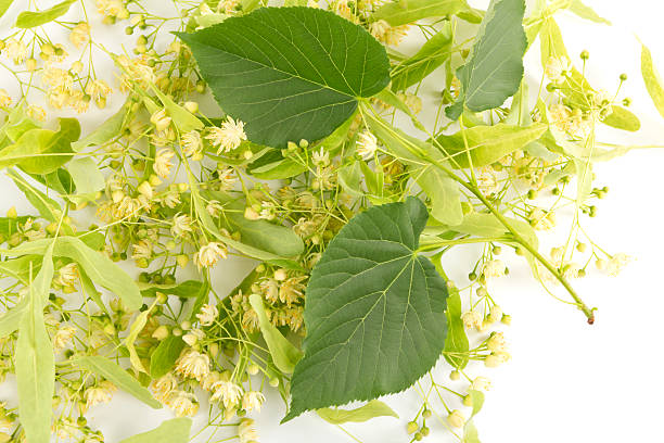 Harvest of fresh linden flowers. stock photo