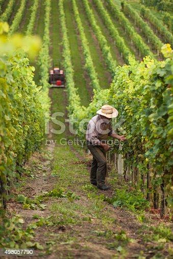 540524550 istock photo Harvest of grapes 498057790