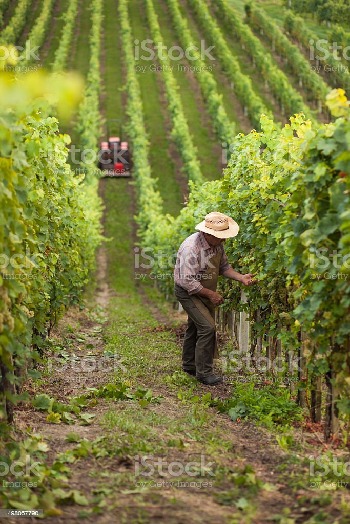 Harvest of grapes stock photo