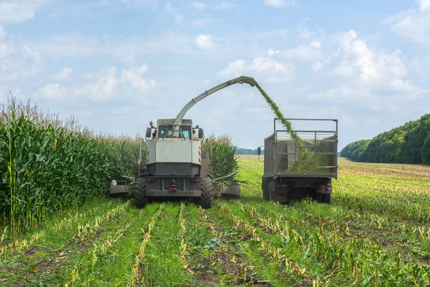 harvest of juicy corn silage by a combine harvester and transportation by trucks, for laying on animal feed harvest of juicy corn silage by a combine harvester and transportation by trucks, for laying on animal feed. foraging stock pictures, royalty-free photos & images