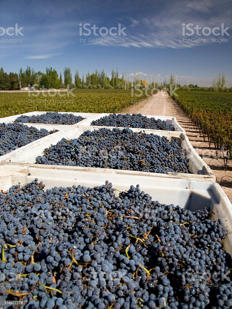 Harvest of malbec grape in Mendoza royalty-free stock photo
