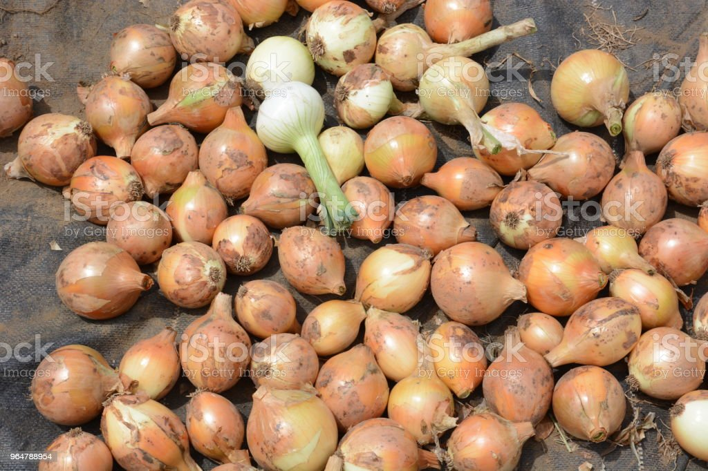 Harvest of onions royalty-free stock photo