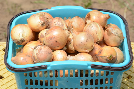 Harvest Of Onions Stock Photo - Download Image Now