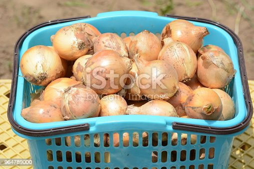 Harvest Of Onions Stock Photo & More Pictures of Agriculture