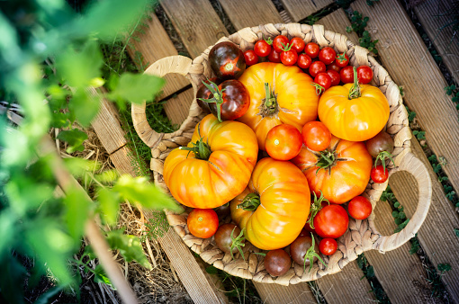 Harvest of red and orange tomatoes in a basket