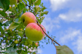 harvest of red apples on a branch of apple tree with green leaves