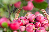 Harvest of the apples in early morning in the garden, apples in the basket, apples on the dewy grass, agriculture and food concept