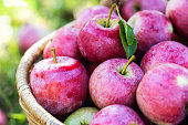 Harvest of the pink apples in early morning in the garden, apples in the basket, apples on the dewy grass, agriculture and food concept