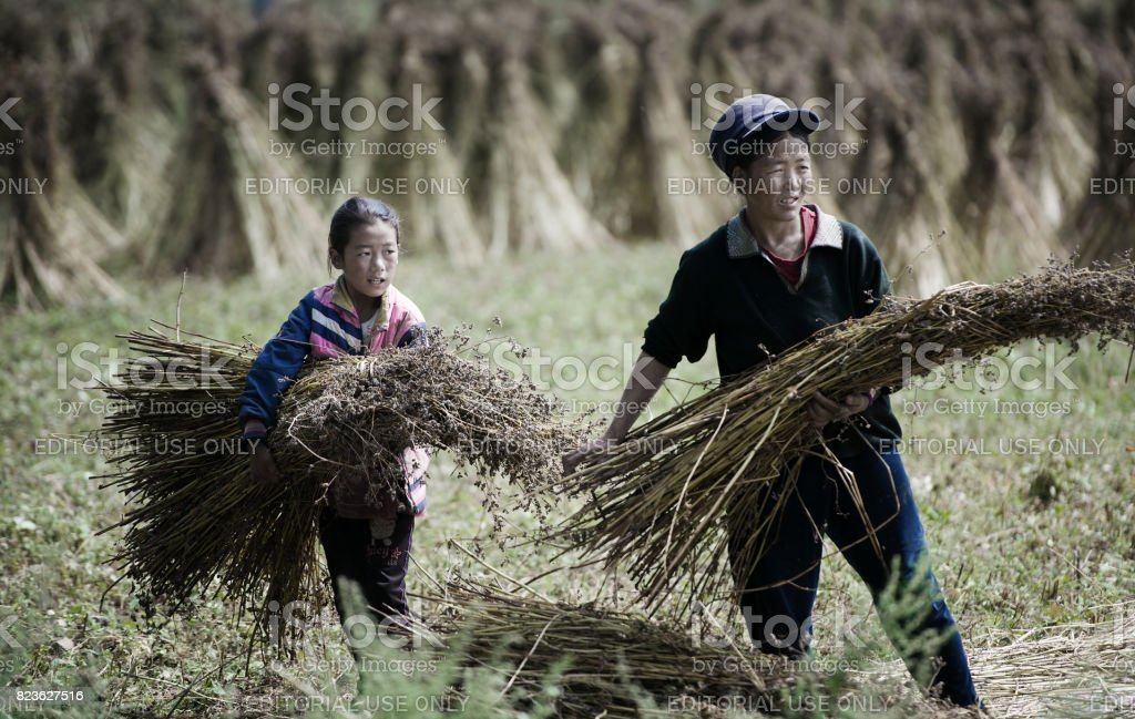 Harvest of the Tibetan Plateau stock photo