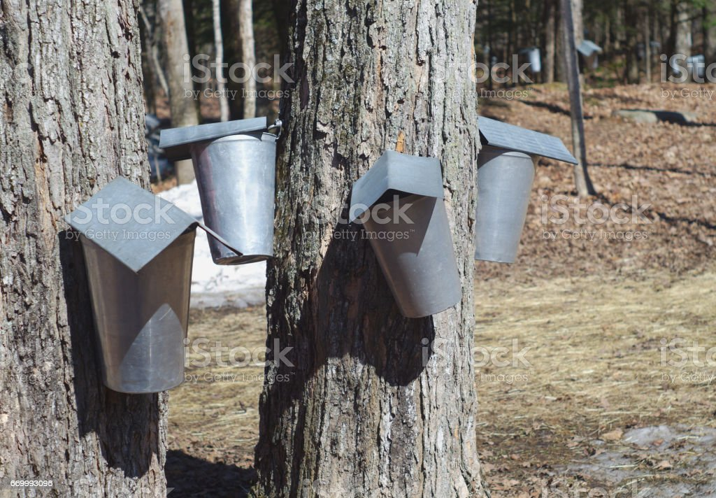 harvest of water maple syrup tree bucket container stock photo