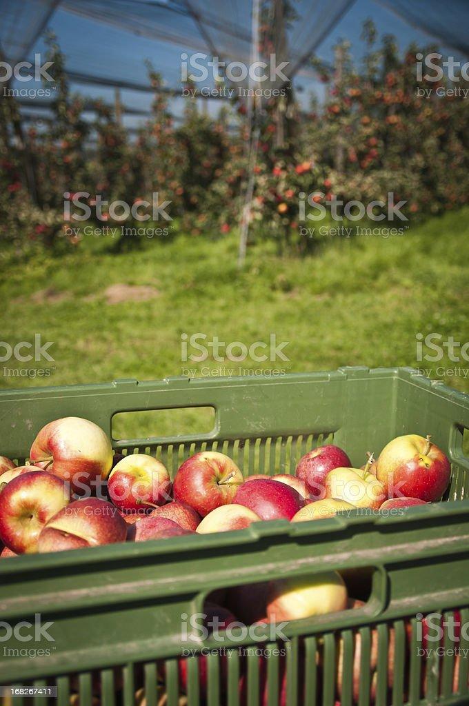 harvest on apple plantation in Thurgau, Switzerland royalty-free stock photo