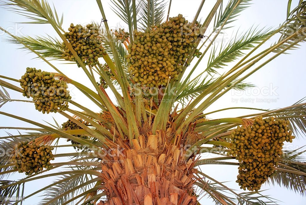 harvest on date palm stock photo