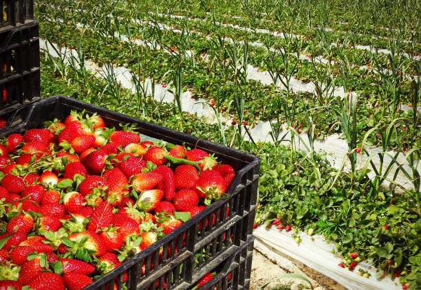Harvest on the strawberry field Boxes with strawberries on the strawberry field strawberry field stock pictures, royalty-free photos & images