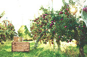 wooden box for fruit picking between rows of apple trees in an orchard