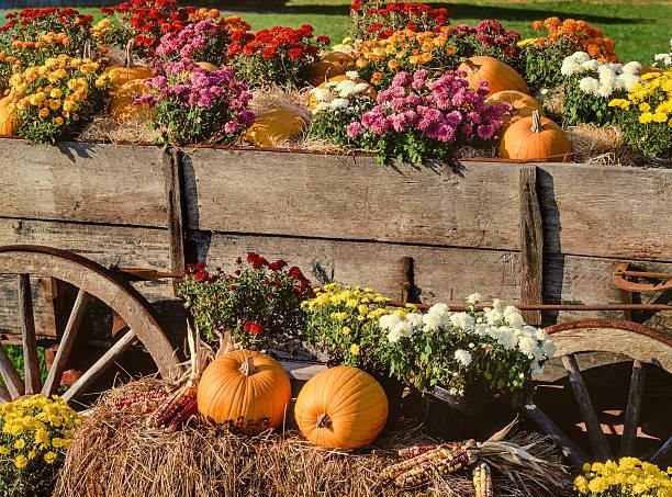 harvest pumpkins, chrysanthemums and antique farm wagon - chrysant stockfoto's en -beelden