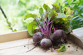 On a wooden board lies a bunch o red beet roots, harvested fresh from the garden in late summer