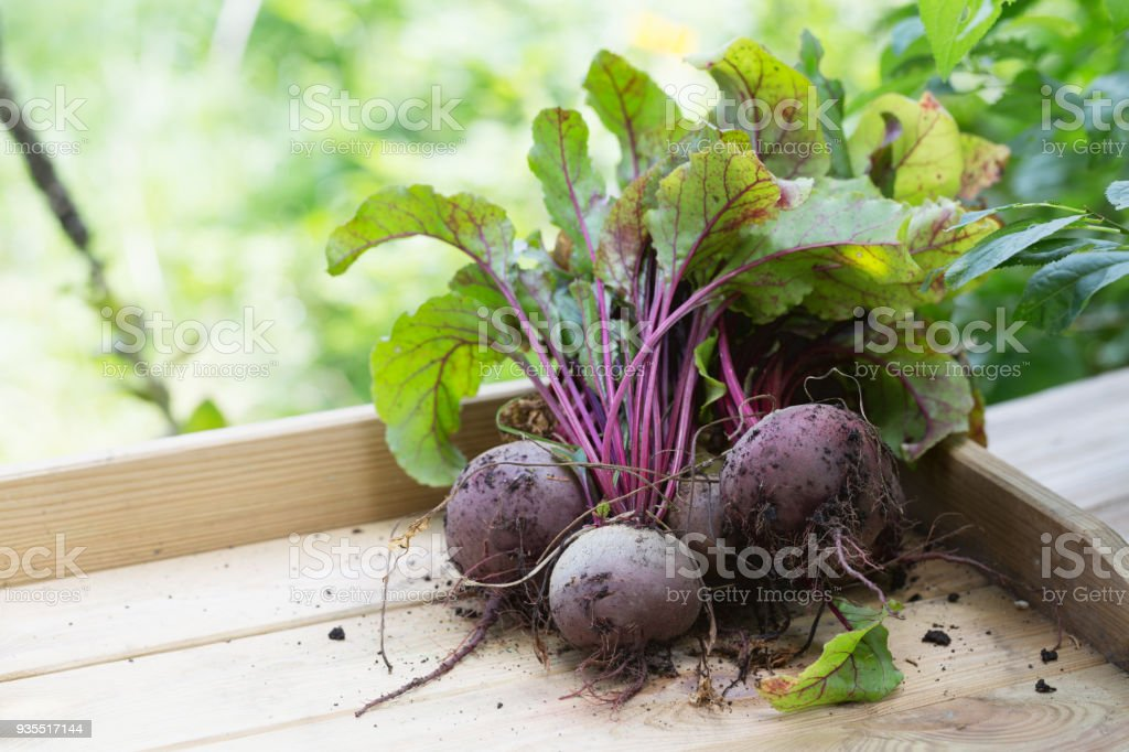 Harvest: red beet root vegetable fresh from the garden stock photo