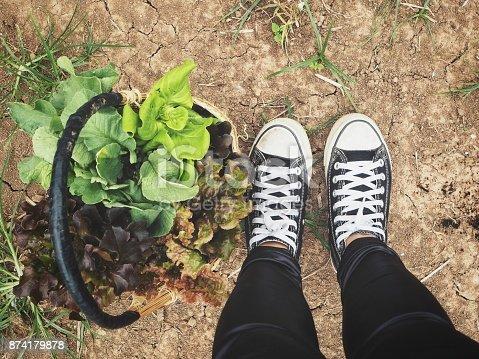 Harvest red lettuce on a basket