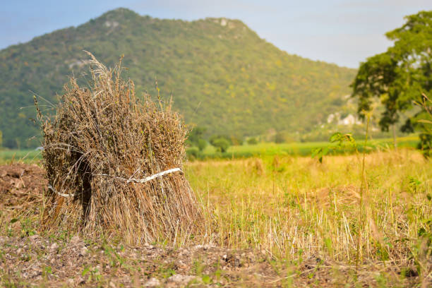 Harvest season in the north of Thailand stock photo