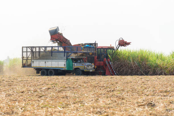 harvest the sugarcane by Sugarcane harvester stock photo