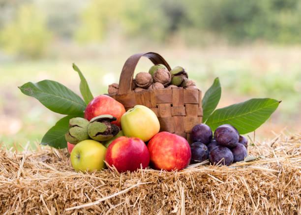 erntezeit, äpfel, nüsse, pflaumen - zwetschgenmus stock-fotos und bilder