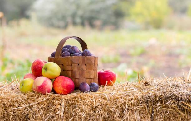 ernte zeit, äpfel, pflaumen - zwetschgenmus stock-fotos und bilder