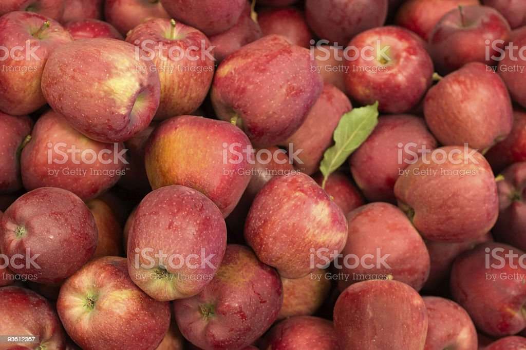 Harvest time for apples royalty-free stock photo