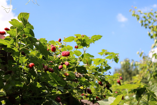 istock Harvest time for red sweet raspberry fruits 598236082